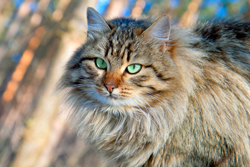 Portrait of Siberian cat outdoor